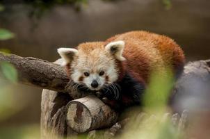 panda vermelho em tronco marrom