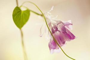 ipomoea nil, fração de segundo, folha em forma de coração e flor rosa