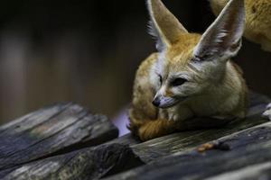 close-up de kit fox foto