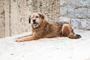 cão pastor do himalaia relaxando na rua leh city foto