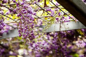 Wisteria sinensis 01 foto