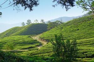 plantação de chá cameron highlands foto