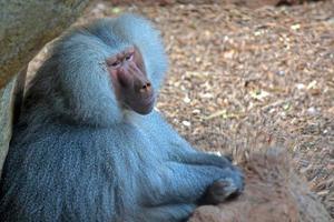 babuíno pensando foto