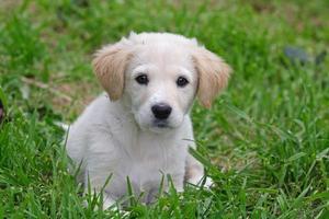 cão pastor maremma foto