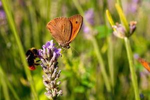 borboleta em flores de lavanda foto