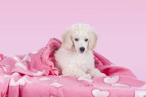 poodle branco fofo relaxando sob o cobertor foto