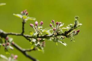 baden wã¼rttemberg, tã¼bingen, flor de macieira foto