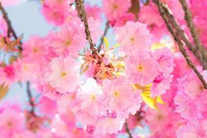 flores de cerejeira sakura foto