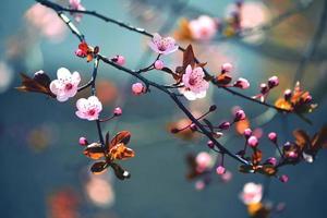bela cereja japonesa em flor - sakura foto