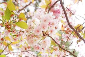 flor de cerejeira sakura foto