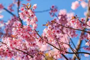 flores de sakura desabrochando foto