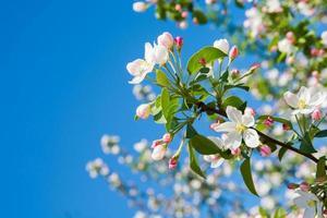 Flor de maçã foto