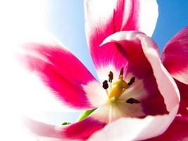 coração de tulipa