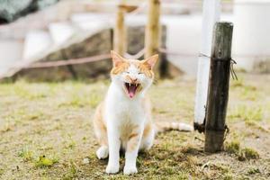 gato engraçado bocejando com a boca cheia foto