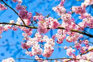 Sakura flores desabrochando. linda flor de cerejeira rosa foto