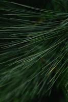 folhas verdes de pinheiro foto