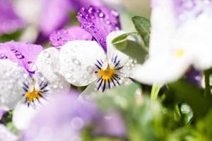 detalhes brancos e roxos de flores de violetas da primavera