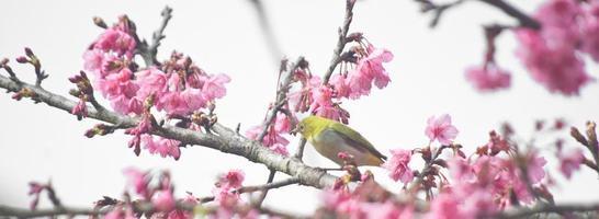 pássaro de olho branco na flor de cerejeira e sakura