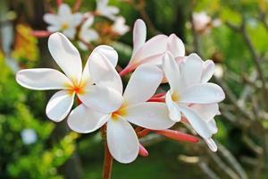 flores tropicais de frangipani foto