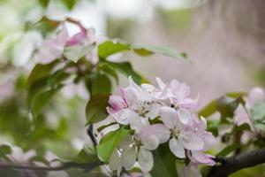 Flor de maçã