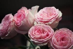 close-up linda rosa com gotas de água foto