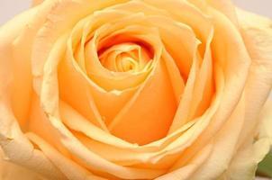 flor rosa amarela de perto