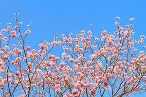 árvore de trompete rosa