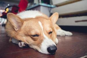 cachorro corgi foto