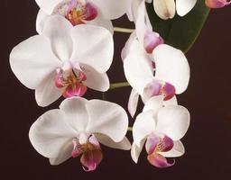 flores de orquídea phalaenopsis (orquídea borboleta) foto