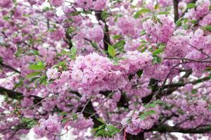flor de sakura foto