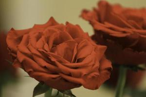 foto de duas rosas vermelhas com folhas verdes