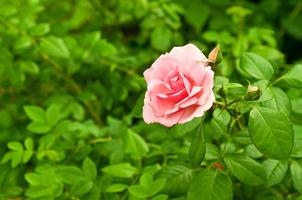 macro rosa rosa foto