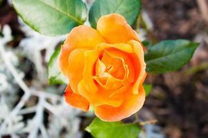 rosa laranja foto