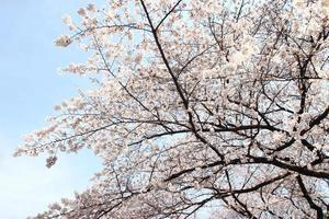 flor de cerejeira - sakura foto