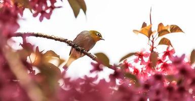 pássaro olho-branco em um galho de flor de cerejeira rosa (sakura)