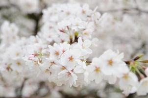 sakura, flor de cerejeira da primavera foto