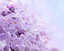 fundo de primavera com lilás foto
