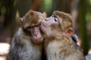 amor macaco barbearia foto