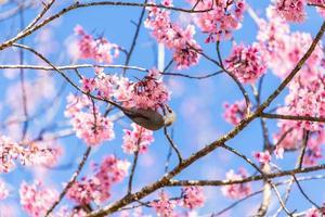 pássaro bulbul de cabeça branca no galho de sakura foto