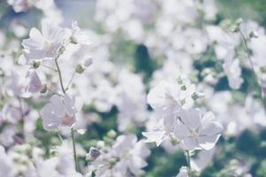 fundo desfocado floral, foto desfocada de flores brancas de primavera