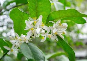 close up flor de limão foto