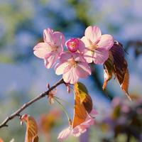 flores de sakura. foto