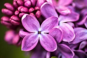 close up de flores lilás foto