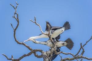 corvo marinho (pied shag) foto
