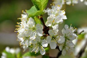 flores de cerejeira na primavera foto