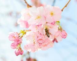 abelha polinizando primavera florescendo pomar jardim de frutas
