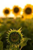 botão de girassol no pôr do sol foto