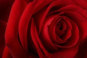 linda rosa vermelha romântica foto