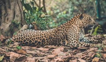 leopardo descansando na floresta foto