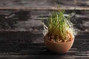 grama de trigo brota em uma tigela de madeira foto